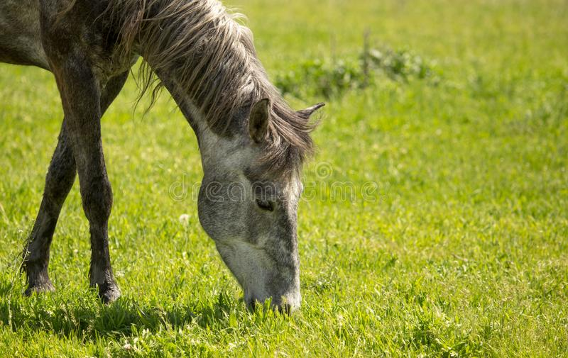 Horses in the pasture in the spring royalty free stock photo