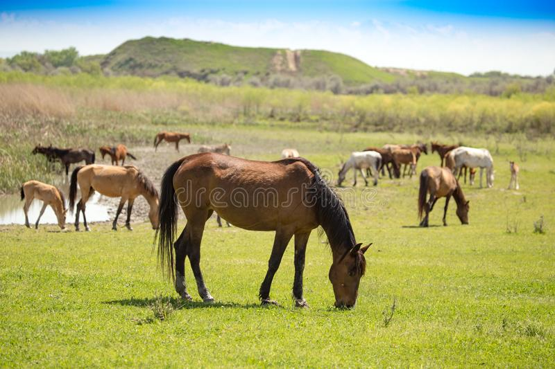 Horses in the pasture in the spring royalty free stock image