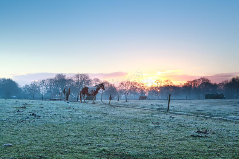 Horses on pasture at spring sunrise stock photo