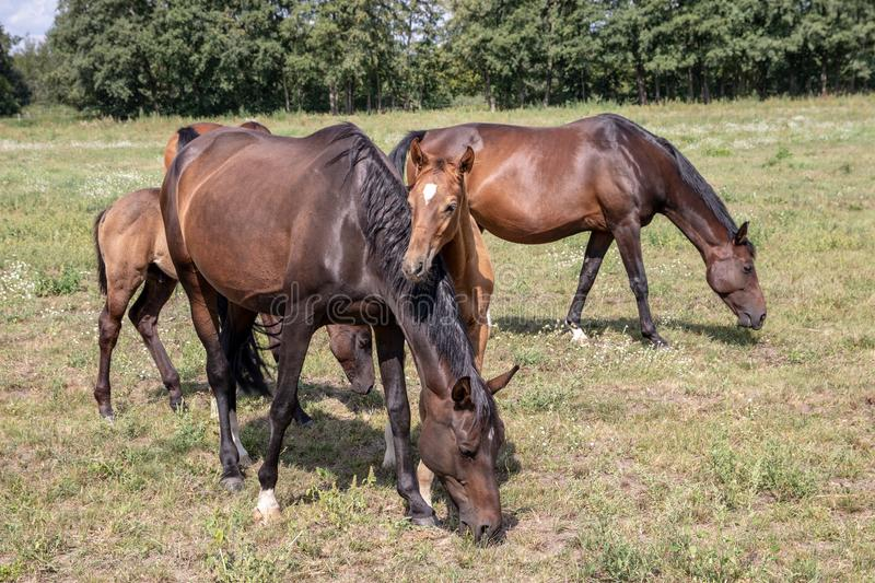 Horses on pasture. Three brown mares with two foals grazing on a green summer meadow. Focus on front mother and child royalty free stock photography