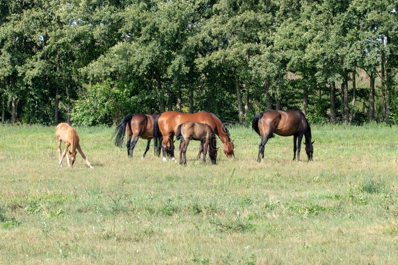 Horses on pasture. Three brown mares with two foals grazing on a green summer meadow stock photo