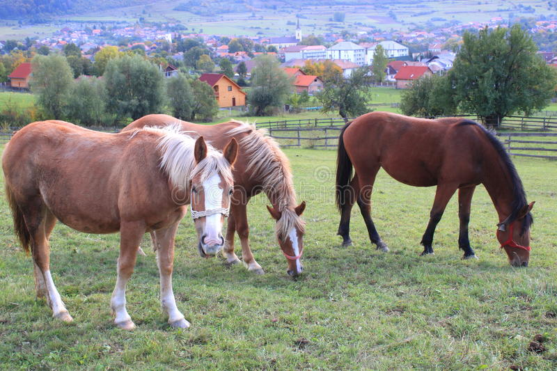 Horses at pasture royalty free stock images