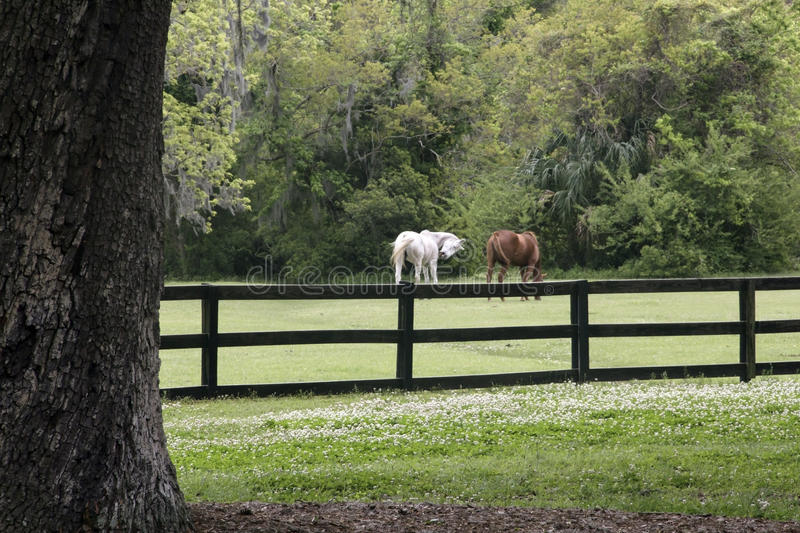 Horses in pasture royalty free stock photos