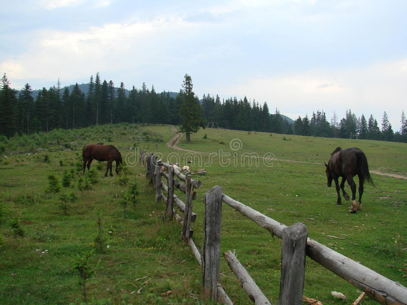 Horses. Photo made ​​in clearing Punga, Soveja village stock photography
