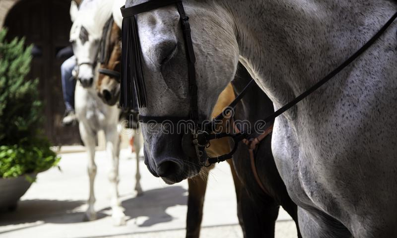 Horses in pilgrimage. Horses in tired pilgrimage, rider and horsemanship, animals, spain, camargue, flamenco, white, nature, travel, france, religion, church stock photo