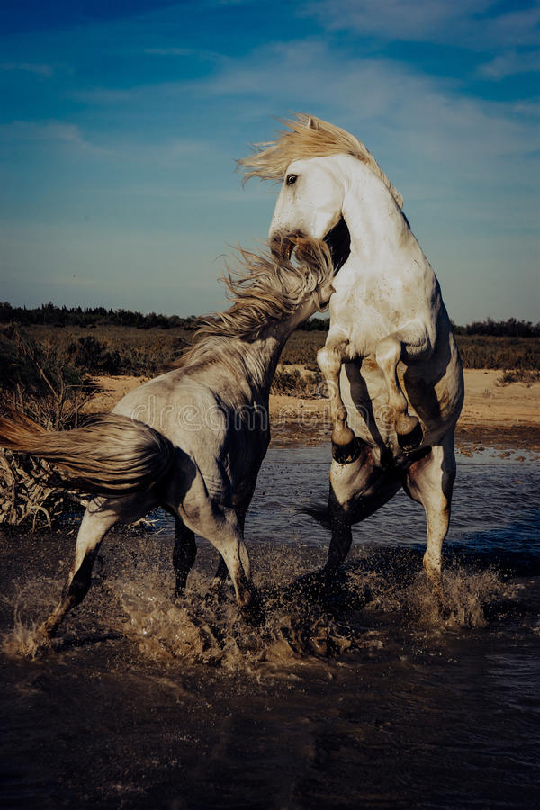 Horses rearing and biting royalty free stock images