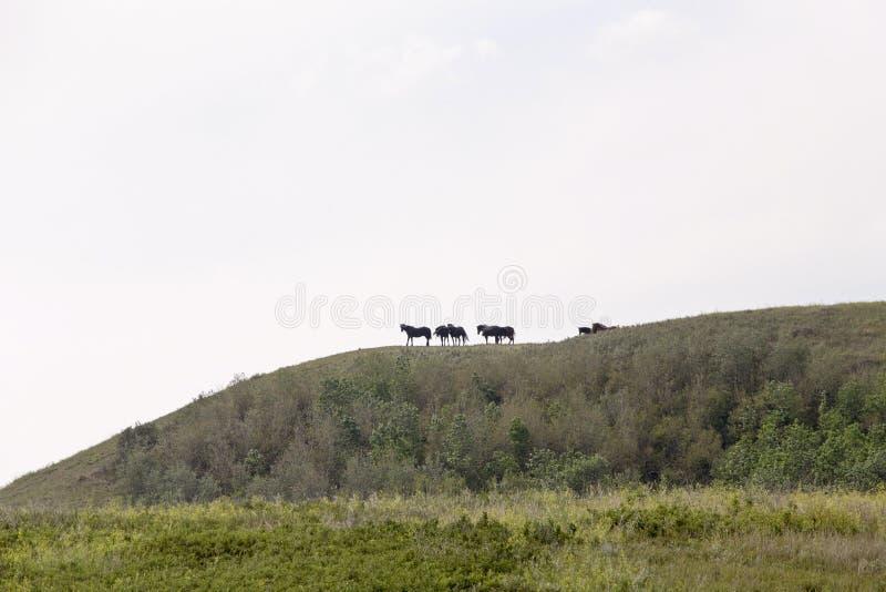 Horses on Ridge royalty free stock photography
