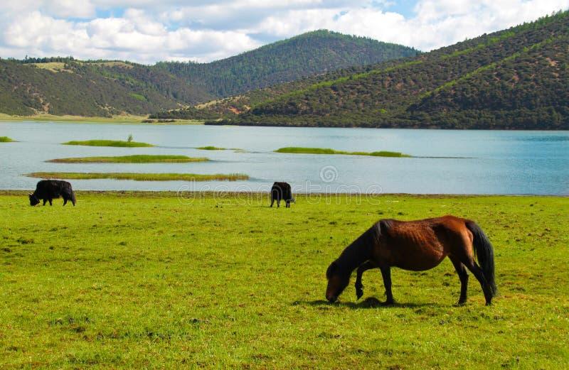 Horses roaming free at Shudu Lake at Shangri-la. Horse livestocks roaming free at Shudu Lake of Pudacuo National Park at Shangri-la, Yunnan China royalty free stock photo