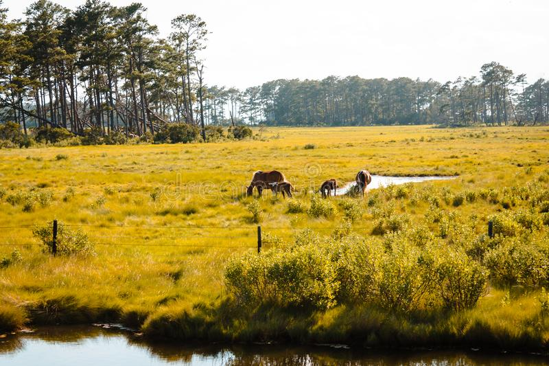 Horses roaming in a open field on Assateague Island. During a summer day royalty free stock photography