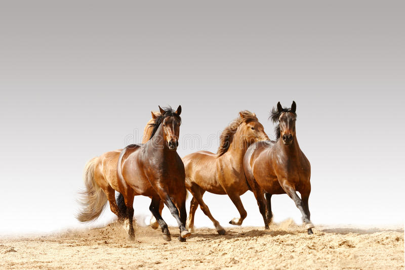 Horses run. On a grey background royalty free stock photos