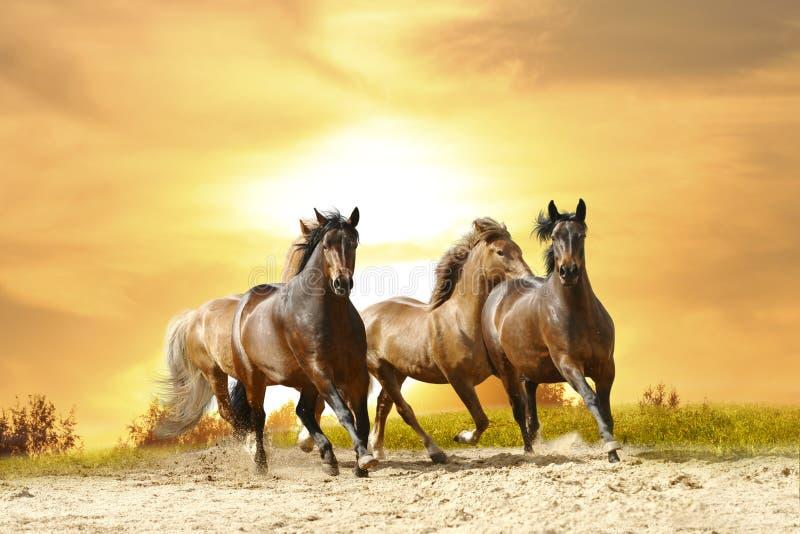 Horses run royalty free stock photos