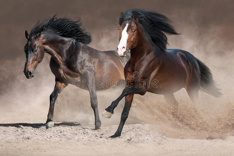 Horses run in dust. Two beautiful horses with long mane run gallop on desert dust royalty free stock images