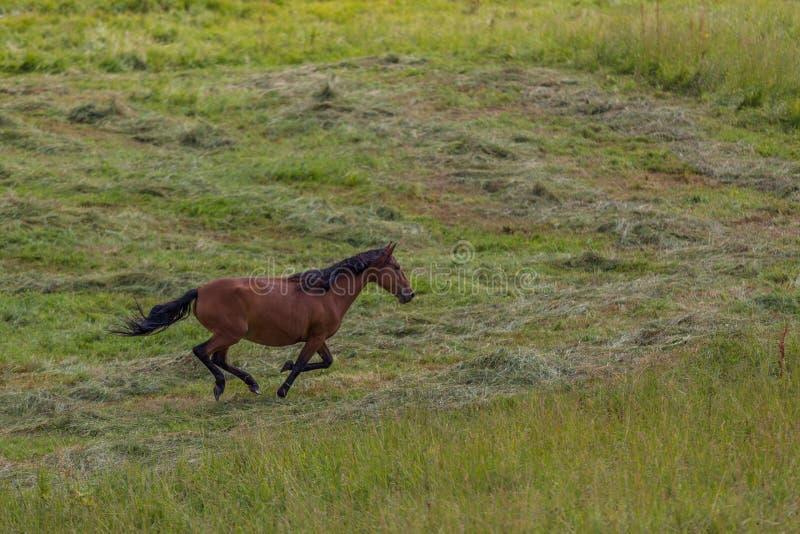 Horses run on field. In summer stock photo