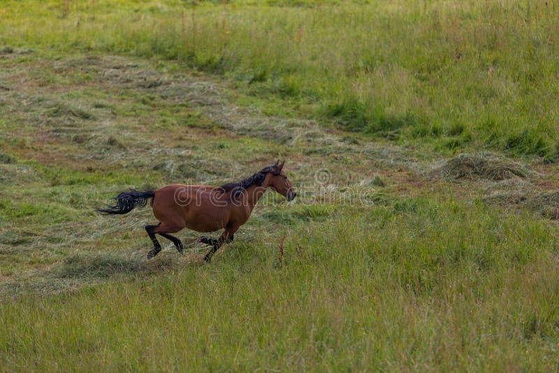 Horses run on field in summer. The Horses run on field in summer stock image