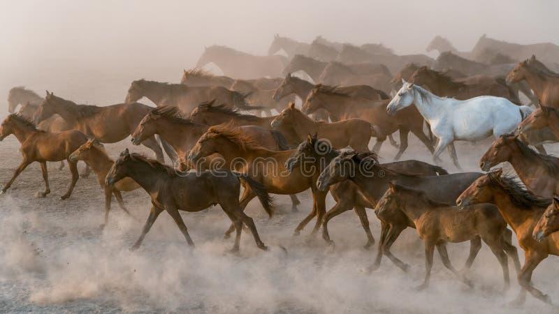 Horses run gallop in dust. Turkey, August 2017: Horses run gallop in dust royalty free stock photos