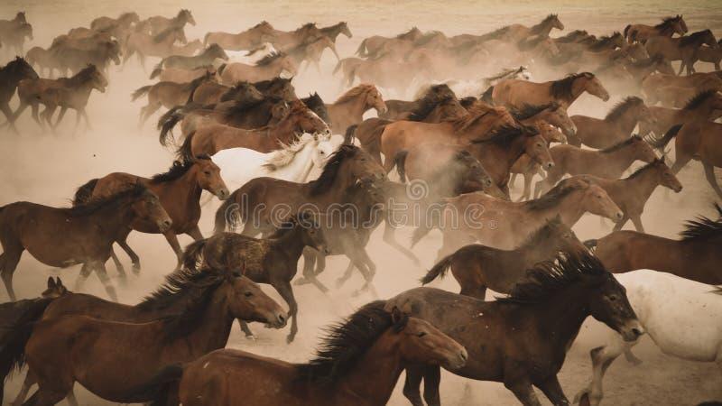 Horses run gallop in dust. Turkey, August 2017: Horses run gallop in dust stock photography