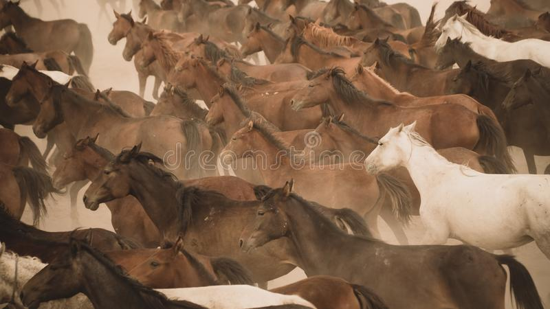 Horses run gallop in dust. Turkey, August 2017: Horses run gallop in dust royalty free stock photo