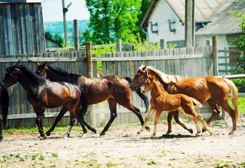 Horses run gallop in meadow. Animal, arabian, background, black, farm, fast, field, freedom, galloping, grass, grazing, herd, , jockey, landscape, mammal, mare royalty free stock photos