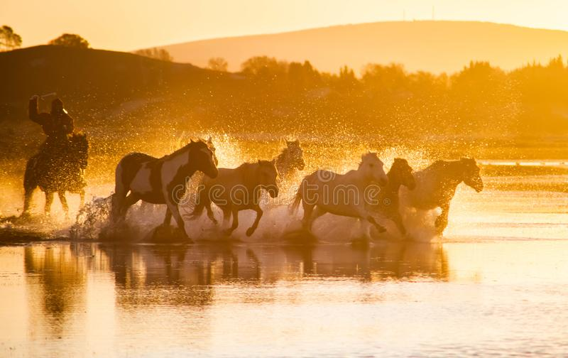 The horses run gallop in the water. In Wulanbutong royalty free stock image