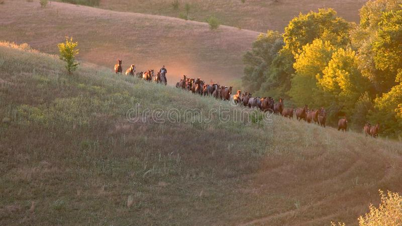 Horses run on grassy meadow. Animals and clear sky. Fast horses of caspian breed. Earn money on races royalty free stock photography