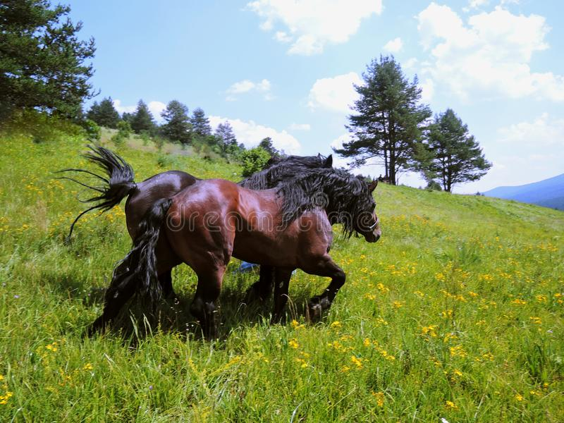 Horses run on a green meadow. Two royalty free stock image