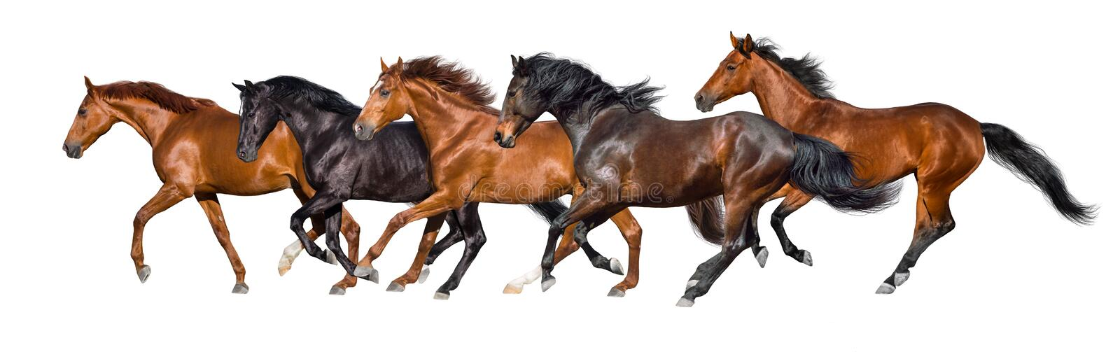 Horses run isolated stock images
