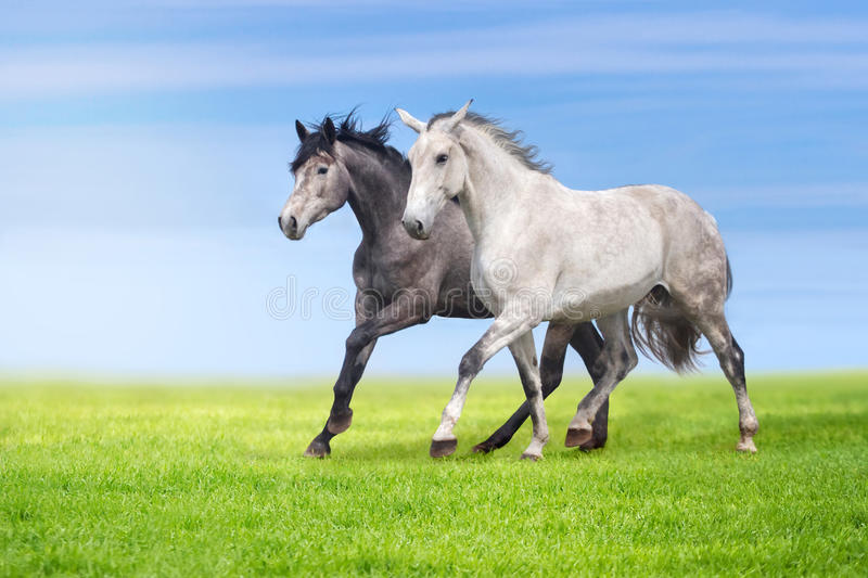 Horses run in pasture. Couple of grey horse run gallop on gree grass against beautiful sky royalty free stock images