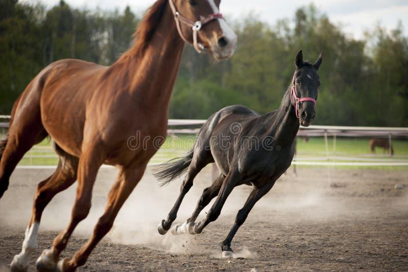 The horses run on the sand. Horses run on the sand royalty free stock photos