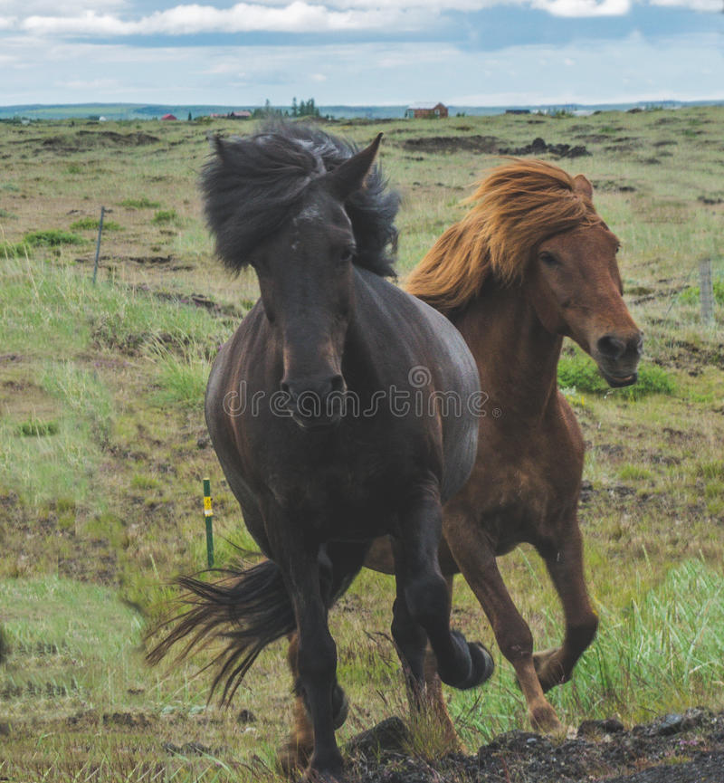 Horses on the run. Two Icelandic horses on the run royalty free stock image