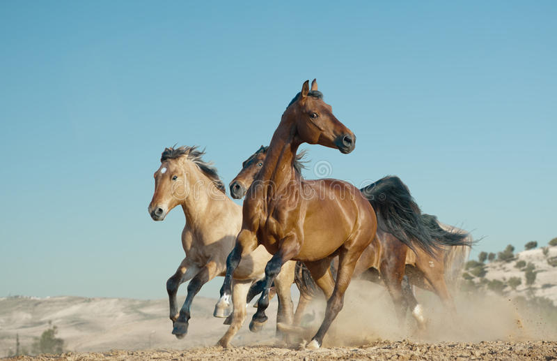 Horses run in a wild stock photos