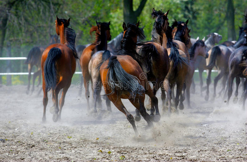 Horses. Running arabians horses in dust stock photos