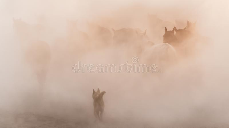 Horses running and kicking up dust while a shepherd dog chases them. Yilki horses in Kayseri Turkey are wild horses. Kayseri, Turkey - November 2019: Horses stock images