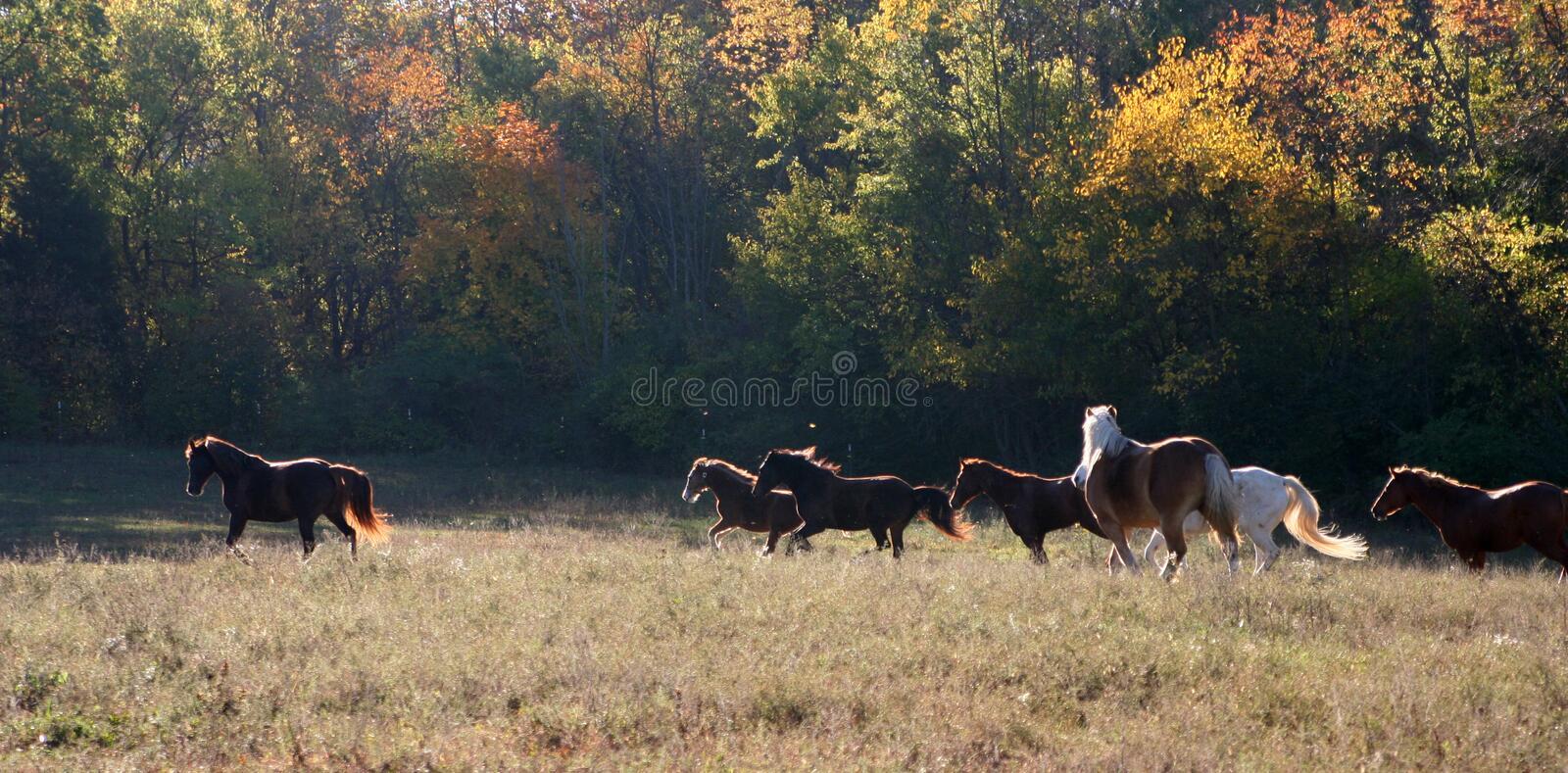 Horses running in an open pasture royalty free stock photos
