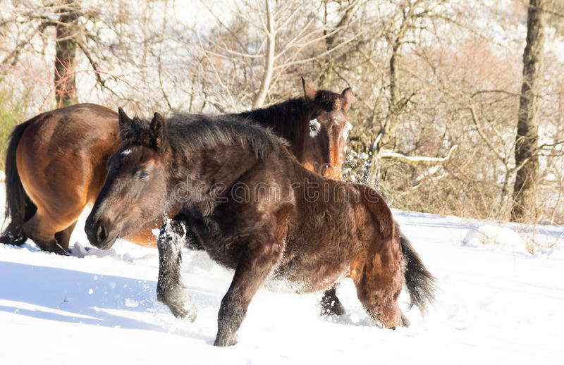 Horses running in the snow royalty free stock photography