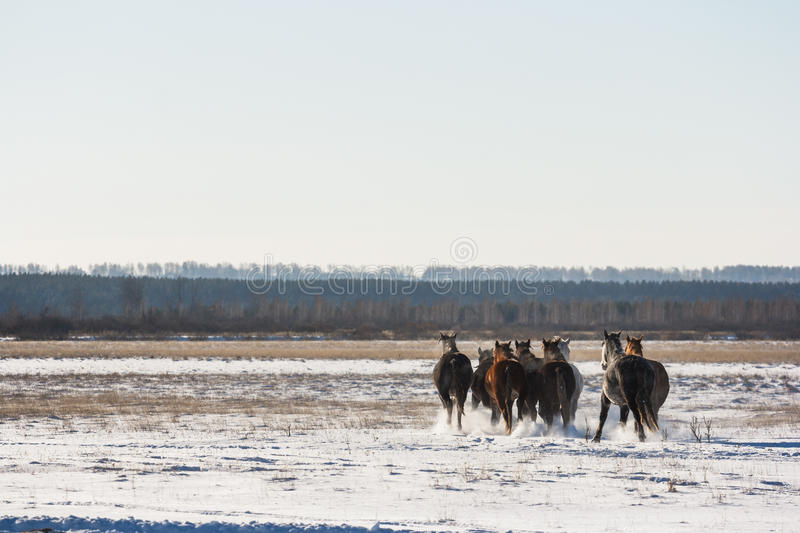 Horses running through a snowy field royalty free stock photo