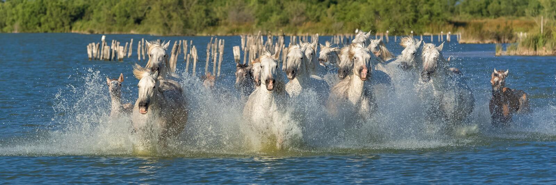 Horses running royalty free stock photo