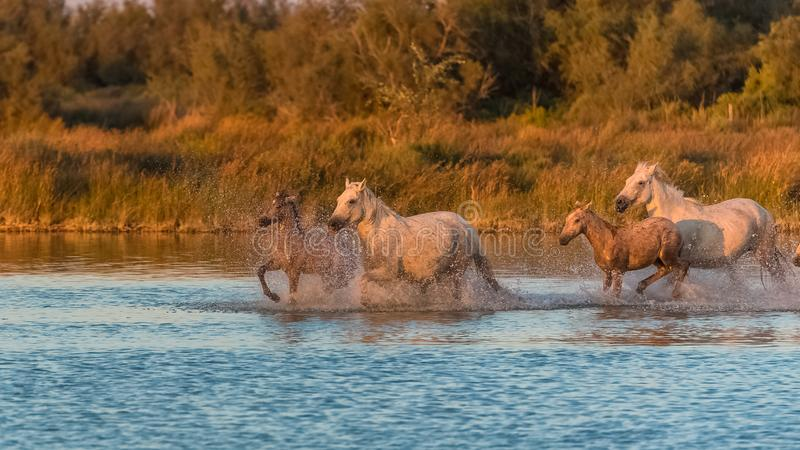 Horses running in the water stock images