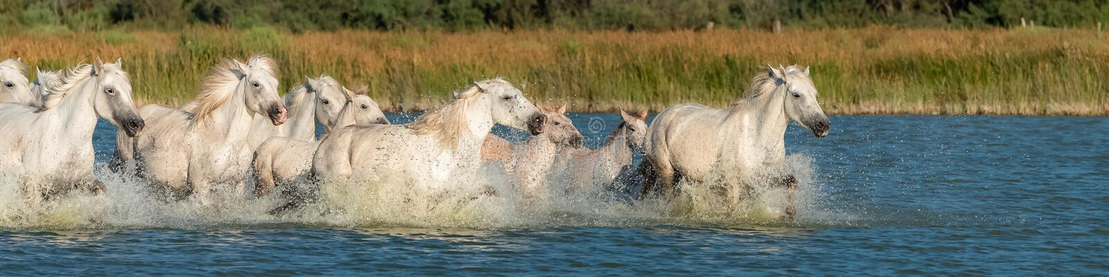 Horses running in the water stock photos