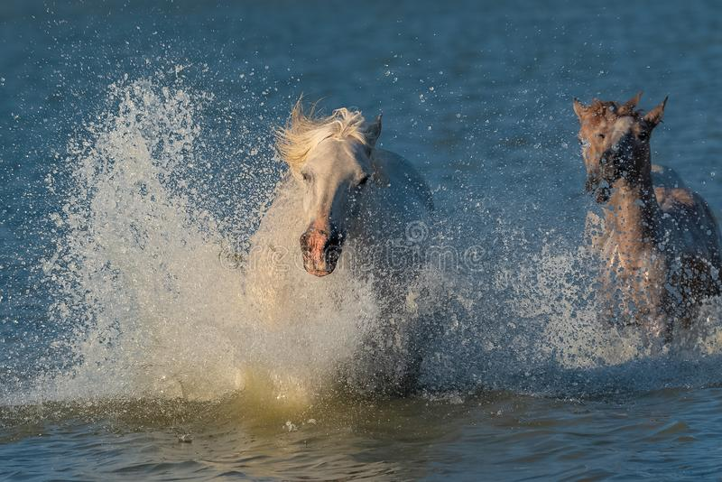 Horses running in the water stock photo