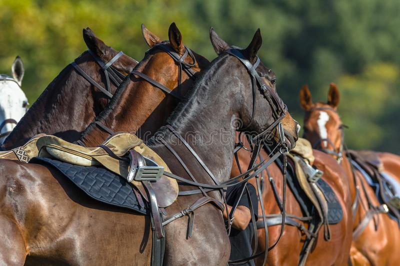 Horses Saddled Polo. Polo pony horses walking parade grouped together saddled for equestrian game stock images