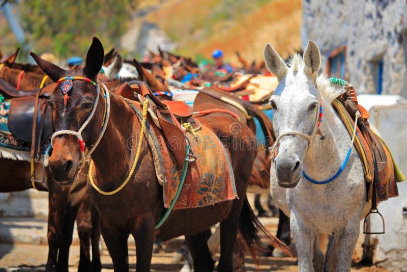 Horses on Santorini island royalty free stock photo
