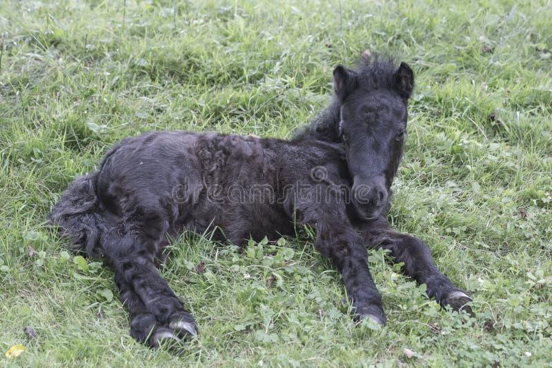 Horses_shetland pony posed. Black foal of shetland pony posed in the meadow stock photos