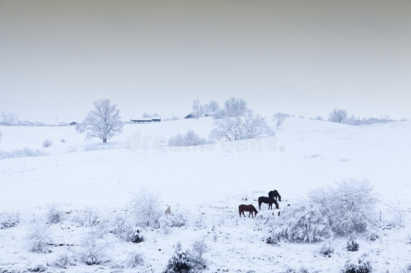 Download Horses in the snow stock image. Image of overcast, outdoor - 26414479