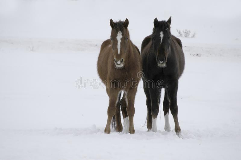 Horses in Snow stock photography