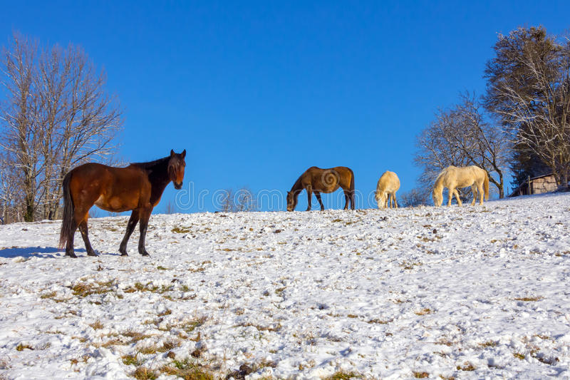 Horses in a snowy field. Three horses, one brown and two white in a snowy field during winter, with a clear blue sky. Taken in Ornans, France stock photo