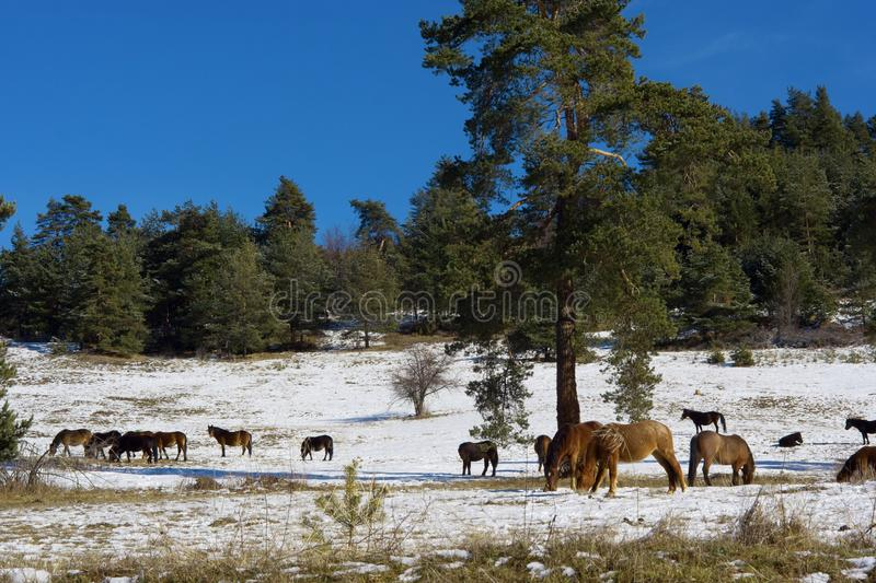 Download Horses In Snowy Rolling Meadow Stock Image - Image: 28716505