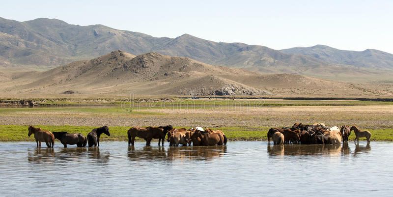 Download Horses Stand in a River stock image. Image of hill, drinking - 36742817