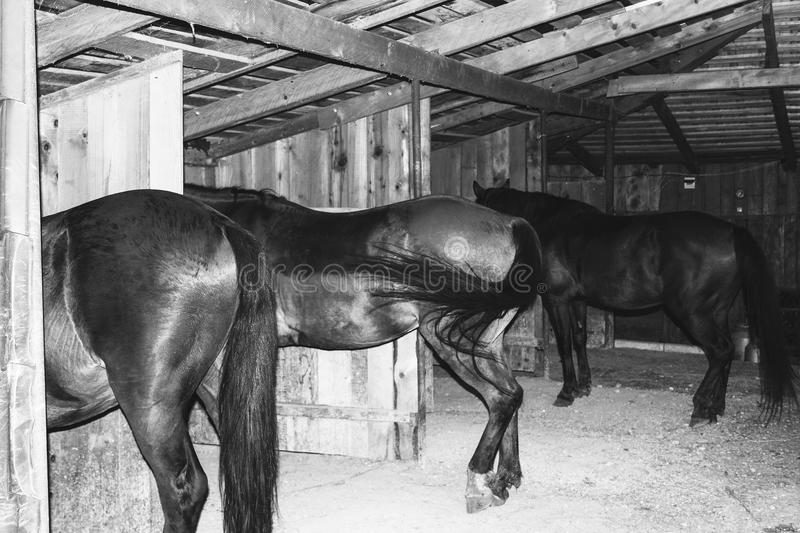 Horses stand in a wooden paddock, rear view black and white photo stock photography