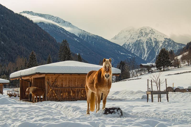Horses standing in the snow near wooden shelter in alpine valley royalty free stock photo