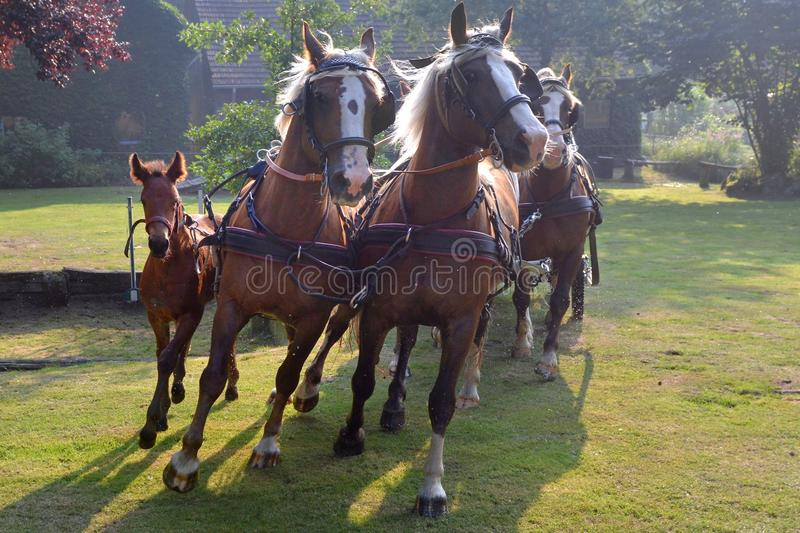 Horses strained. With young foal Germany royalty free stock photo